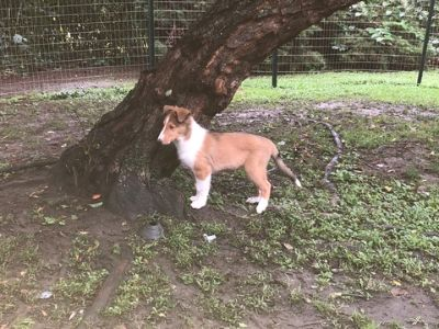 Collie PUPPY FOR SALE ADN-95199 - Akc Collie Puppies for sale