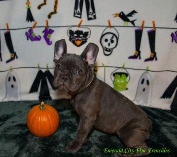 French Bulldog PUPPY FOR SALE ADN-98880 - Blue Male French Bulldog
