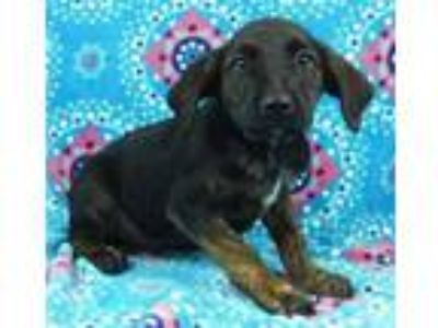 Adopt Gideon a Black Labrador Retriever / Black and Tan Coonhound / Mixed dog in
