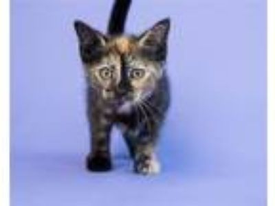 Adopt Poppy a Domestic Shorthair / Mixed (short coat) cat in Pittsburgh