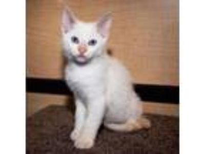 Adopt Moon a Siamese, Domestic Short Hair