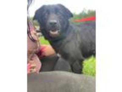 Adopt marlee a Black - with White Labrador Retriever / Mixed dog in Marion