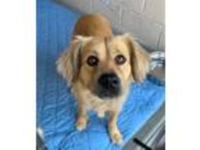 Adopt Oso a Golden Retriever, German Shepherd Dog