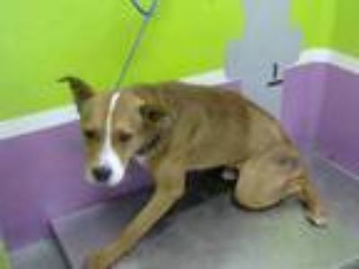 Adopt VISION a Brown/Chocolate - with White German Shepherd Dog / Labrador
