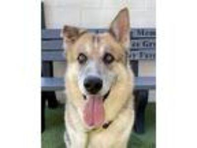 Adopt Six a German Shepherd Dog, Husky