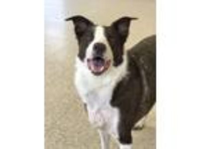 Adopt Lacey Lou a Border Collie