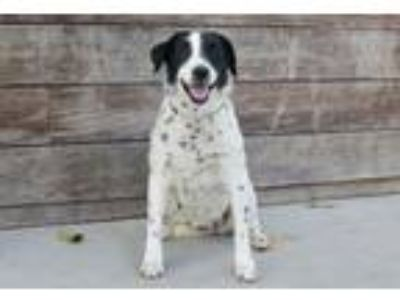 Adopt Disco a Border Collie
