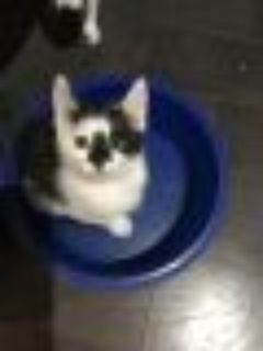 Padme Domestic Short Hair Cat