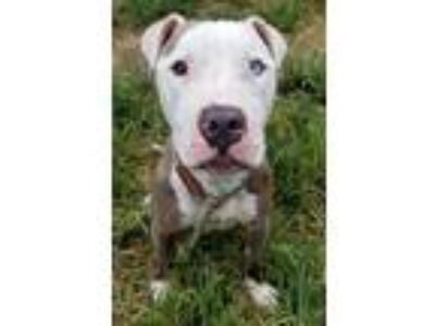 Adopt Bud a Gray/Blue/Silver/Salt & Pepper American Pit Bull Terrier / Mixed dog