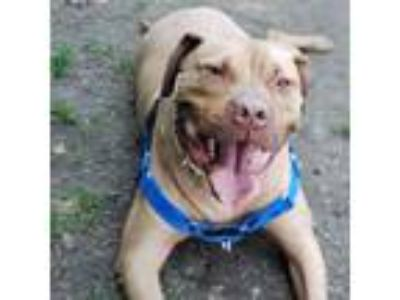 Adopt Cookie Man a Pit Bull Terrier, Mixed Breed