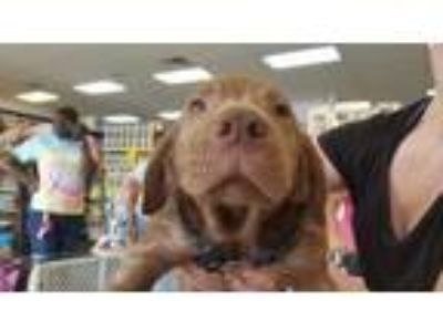 Adopt Bear a Chocolate Labrador Retriever