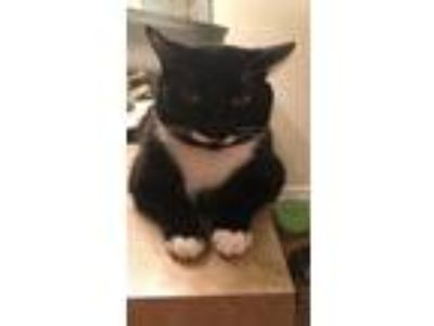 Adopt Pickles a Black & White or Tuxedo Domestic Mediumhair / Mixed cat in