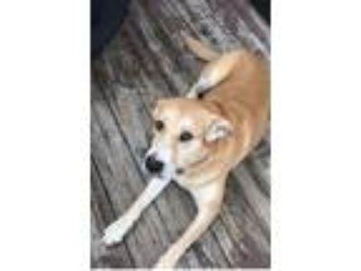 Adopt Cookie a Tan/Yellow/Fawn Labrador Retriever / Old English Sheepdog dog in