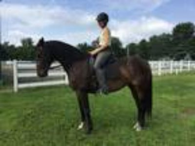 Dressage Horse beautiful mover
