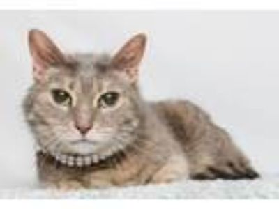 Adopt Esther Faye a Domestic Short Hair, Tabby