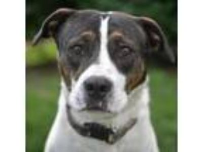 Adopt McCartney a Brindle Pit Bull Terrier dog in St. Louis, MO (25891092)