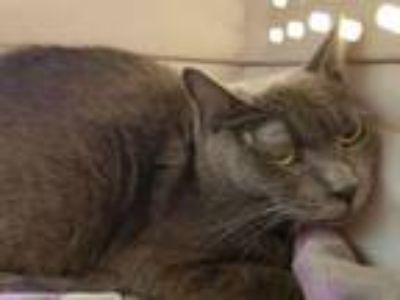 Adopt Joy a Domestic Short Hair