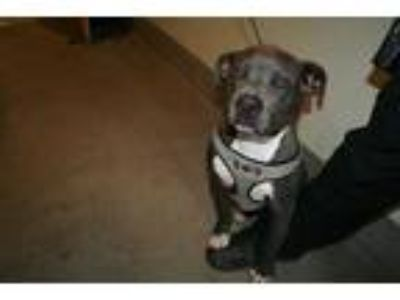 Adopt *LINK a Gray/Silver/Salt & Pepper - with White American Pit Bull Terrier /