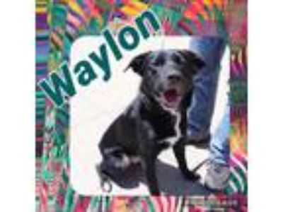 Adopt Waylon a Border Collie