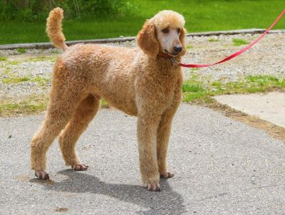 AKC Standard Poodle Red Male
