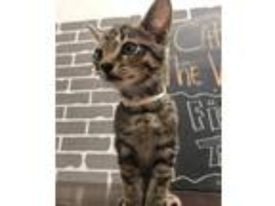 Adopt Fig a Brown Tabby Domestic Shorthair / Mixed cat in Tallahassee