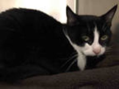 Adopt SKYE a Black & White or Tuxedo Domestic Shorthair / Mixed (short coat) cat
