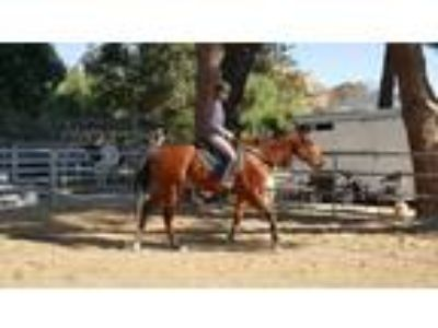 Gentle Giant 171hh Light Bay Thoroughbred Gelding 5 yr old