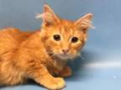 Adopt Gabby-Gabby a Domestic Medium Hair, Domestic Short Hair