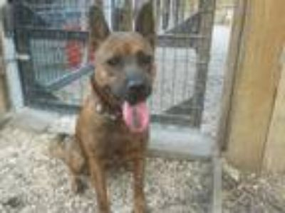 Adopt Roxy a Brindle Shepherd (Unknown Type) / Chow Chow / Mixed dog in Olympia