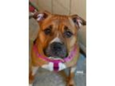 Adopt Piper a Tan/Yellow/Fawn American Pit Bull Terrier / Mixed dog in Niagara