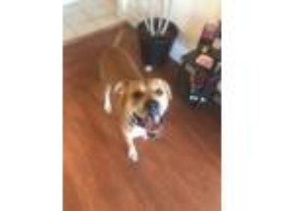 Adopt Jax a Brown/Chocolate Boxer / Mixed dog in Cincinnati, OH (25886162)