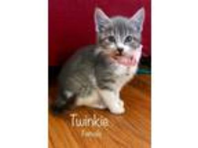 Adopt Twinkie a Domestic Short Hair