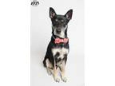 Adopt Hans a German Shepherd Dog