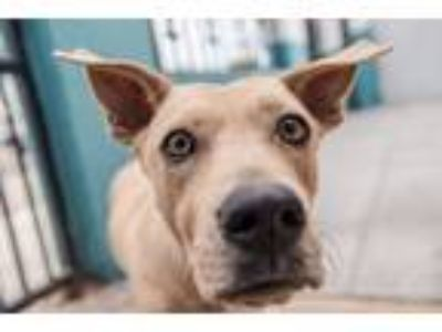 Adopt Posey a Tan/Yellow/Fawn Basset Hound / Labrador Retriever / Mixed dog in