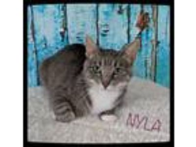 Adopt NYLA - SWEET QUEEN BEE! a Gray, Blue or Silver Tabby Domestic Shorthair