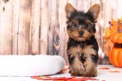 Yorkshire Terrier PUPPY FOR SALE ADN-98796 - Skip Endearing Little Sweet Male Yorkie Puppy