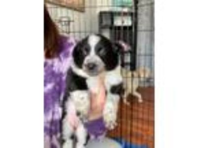 Adopt Aech a Australian Cattle Dog / Blue Heeler