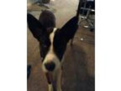 Adopt Ariel a Brown/Chocolate - with White Shepherd (Unknown Type) dog in