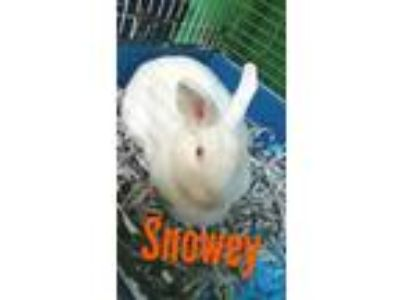 Adopt Snowey a White New Zealand / Mixed (short coat) rabbit in Pottsville