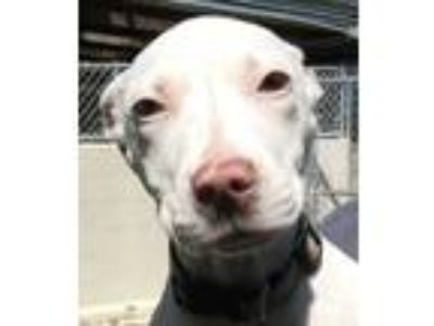 Adopt Jamie a Pit Bull Terrier
