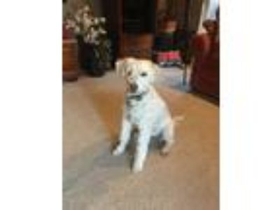 Adopt Jax a White - with Tan, Yellow or Fawn Labradoodle / Mixed dog in Santa