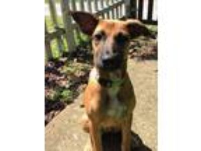 Adopt Tory a Tan/Yellow/Fawn Terrier (Unknown Type, Medium) / German Shepherd