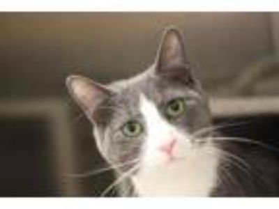 Adopt Gway a Gray or Blue Domestic Shorthair / Domestic Shorthair / Mixed cat in