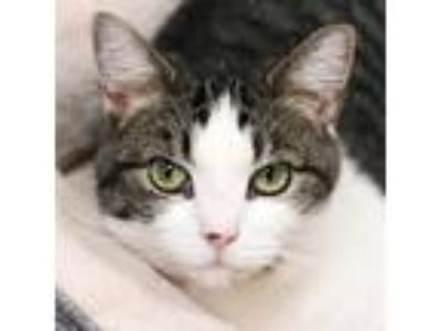 Adopt Lottie a Domestic Short Hair