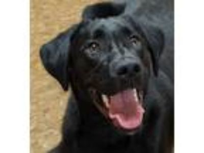 Adopt Rocco a Black - with White Labrador Retriever / Mixed dog in Albion