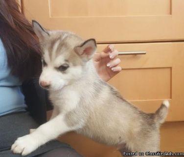 Siberian Husky Puppies:):):)