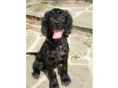 Adopt Lorelai a Black Cocker Spaniel / Mixed dog in Washington, DC (25296529)