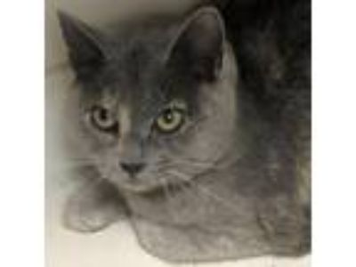 Adopt Leslie a Gray or Blue Domestic Shorthair cat in North Hollywood
