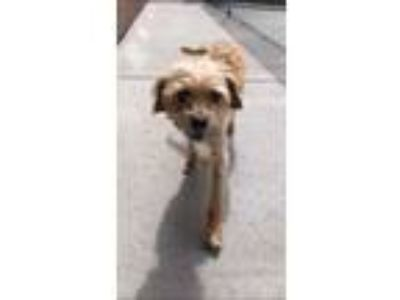 Adopt Charlie a Tan/Yellow/Fawn Terrier (Unknown Type, Small) / Mixed dog in