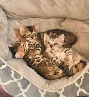 Bengal KittenS Ready Now.